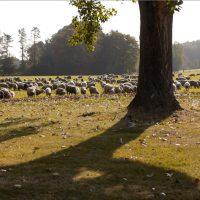 Baumschatten - der letzte schäfer von köln