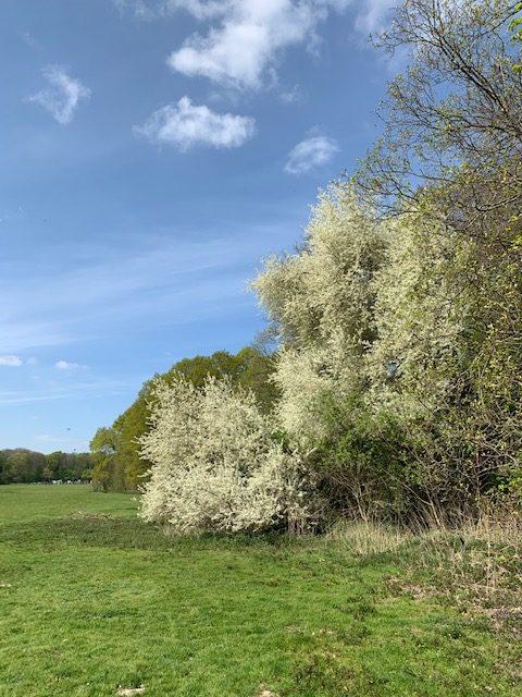 Blütezeit auf der Gleueler Wiese